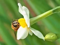 2019.12.05 ハナアブ (eriko_jpn) Tags: hoverfly insect wildflower narcissus