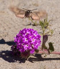 Animals051 (anza_borrego) Tags: 2019 abroniavillosa anzaborregodesertstatepark borregosprings california events flying best flower nativeplant pink plant sandverbena sphinxmoth