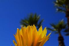 The Warmth of the Sun (oybay©) Tags: yellow suncitywest arizona unique unusual nightbloom night cactusflower cactus flower flora fiori blumen argentinegiant macro upclose color colors white whiteflower light greatshot coolshot cool