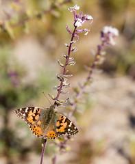 Animals049 (anza_borrego) Tags: 2019 adult anzaborregodesertstatepark borregosprings california dithyreacalifornica spectaclepod best flower nativeplant paintedladybutterfly plant white