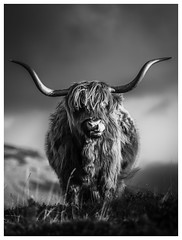 Scotland Highland Cow, Elgol, Isle of Skye (Michael Long Landscaper) Tags: scotland scottishhighlands scottish canon canonuk highlands highlandcattle highlandcow cow hillside blackandwhite westerenhighlands isleofskye elgol ukwildlife wildlife animalinthewild animal horns