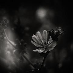 Light Show... (Ageeth van Geest) Tags: flower light bokeh nature zwartwit monochrome blackandwhite bw