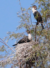 White-breasted Cormorant Nest (peterkelly) Tags: digital canon 6d africa intrepidtravel capetowntovicfalls southafrica blue sky birds bird tree nest branch orangeriver whitebreastedcormorant