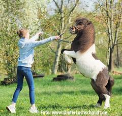 Fotografen-Tag in der Nähe von Worms 2019 (DieterLo1) Tags: pferdeportrait ponyportrait portrait ponytraining schecke shetlandpony pony photography horses pferde children kinder kinderreiten