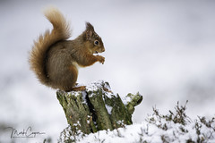 Red Squirrel (coopsphotomad) Tags: squirrel redsquirrel mammal british red tail snow white wild native woodland