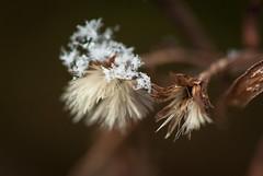 Snow on fleabane (vaneramos) Tags: erigeronannuus daisyfleabane macro seeds snow texture