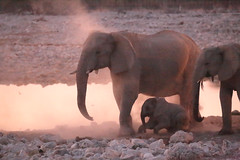 Waterhole Dusting (peterkelly) Tags: digital canon 6d africa namibia capetowntovicfalls intrepidtravel etoshanationalpark okaukuejocamp wateringhole waterhole dust water elephant dusk evening sunset savannaelephant baby tusk