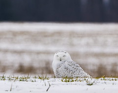 So sleepy . . . (Dr. Farnsworth) Tags: bird large male owl snowyowl parking lot natural setting driveway sleep winks traversecity mi michigan fall december2019 fantasticnature flickrsbest