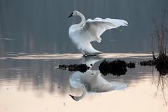 Trumpeter Swan 02 (judymtomlinson) Tags: bird londonontariocanada birdwatching birdphotography birdphotographer nikond7500 ontariobirds wildlife wildlifephotographer trumpeterswan