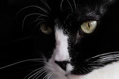 Stella - Cat (Modkuse) Tags: cat animal creature art artphotography artistic artisticphotography photoart candid 80mm 80mmmacro xf80mmf28rlmoiswrmacro xf80mmf28rlmoiswrmacrolens fujinonxf80mmf28rlmoiswrmacro fujifilm fujinon xh1 xh1proviasimulation xh1provia fujifilmxh1 pet provia fujiprovia