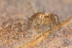 Oxyopes sp (Tifaeris) Tags: araignée araneae oxyopessp