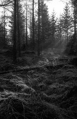 light gets in (Mano Green) Tags: trees forest light shadow tree forestry grizedale cumbria lake district england uk january winter 2017 canon eos 300 hp5 ilford 35mm film black white monochrome 40mm lens ilfosol s v550 epson perfection