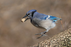 Look Ma no feet....uhhh and no tail?? (Lynn Tweedie) Tags: wood bluejay beak tail wing canon ngc animal feathers bokeh bird 5dmarkiv eye ef400mm56lusm eos missouri tree branch