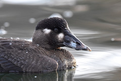 Surf Scoter (eBird.org) Tags: ebird front page surf scoter waterfowl citizen science macaulay library