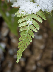 Snow on wood fern (vaneramos) Tags: dryopteris twinoaks fern green macro snow texture