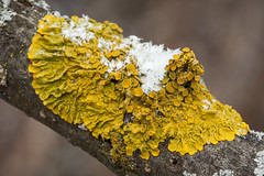 Snow on common orange lichen (vaneramos) Tags: twinoaks xanthoriaparietina yellow commonorangelichen macro texture
