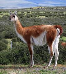 Guanaco (__ PeterCH51 __) Tags: guanaco animal wildlife wildanimal patagonia chile peterch51 guanako lamaguanicoe