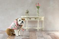Bella's back (hehaden) Tags: dog bulldog needlefelted handmade dollhousefurniture miniature tabletop stilllife clock flowers vase sel55f18z
