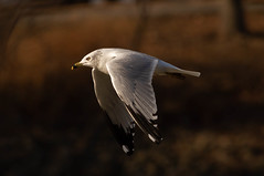 Focusing Target Practice (114berg) Tags: 07december19 ring billed gull mississippi river rock island illinois