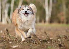 _DSF513419 (pfotengrafie) Tags: dog fujifilm xt3 hunde tiere herbst natur