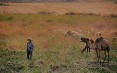 Maroc - Province de Taounate  / تاونات /Tawnat / ⵜⴰⵡⵏⴰⵜ (RéGis.) Tags: taounate arabe تاونات tawnat ⵜⴰⵡⵏⴰⵜ maroc morocco berger chardon dromadaire mouton chapeau camel