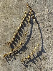 Arizona Sprig (cobalt123) Tags: arizona phoenix acacia texture sprig pavement