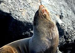 IMG_0256 (xd_travel) Tags: 2014 galapagos mssamba seal furseal