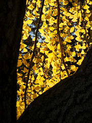 Yellow V (lmurphy) Tags: mountainview leaf leaves nature potd