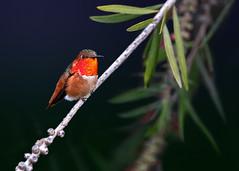 My Little Tree Ornament (Patricia Ware) Tags: allenshummingbird california canon ef400mmf4doisiiusmlens handheld kennethhahnrecreationalarea losangeles selasphorussasin ©2019patriciawareallrightsreserved specanimal