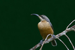 Victoria's Riflebird (Alan Gutsell) Tags: victoriasriflebird victorias riflebird lophorinavictoriae kingfisher lodge australianbird queenslandbirds alan wildlife naturephoto queensland birdsofaustralia