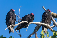 Turkey Vultures in Colusa, California (Lee Rentz) Tags: colula colusasacramentoriverstaterecreationarea sacramentoriver agr america animal behavior bird birding birdwatching branches buzzard california cathartesaura centralvalley communal communalroost dark early feathers forest group horizontal limbs many morning nature northamerica perched perching recreationarea redhead roost roosting scavenger scavenging social statepark staterecreationarea tree trees turkeybuzzard turkeyvulture usa vulture vultures warmingup watching wild wildlife
