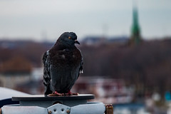 Standing Lookout (langdon10) Tags: canada laurentiadesgagnes montreal quebec stlawrenceriver bird pigeon ship