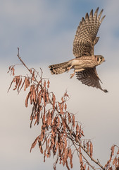 American Kestrel (Ian Hearn Photography) Tags: falco sparverius american kesrel falcon taking flight boise idaho near takes birding ebird ada canyon county counties ian hearn wwwianhearncom flickrcomphotosianhearn ianhearncom nature photography birds meridian hulls gulch reserve trail sw id