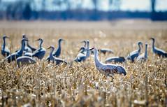 Sandhill Cranes (RWGrennan) Tags: sandhill crane kearney nebraska ne migration bird corn field midwest nature outdoors travel grus canadensis flyway north america rwgrennan rgrennan ryan grennan nikon d610 tamron 150600