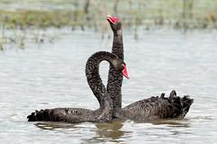 Black Swan (Cygnus atratus) (Dave 2x) Tags: cygnusatratus blackswan black swan bushellslagoon nsw australia leastconcern