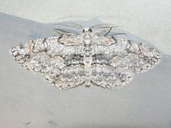 Geometrid moth (Geometridae) (tigerbeatlefreak) Tags: geometrid moth insect lepidoptera geometridae nebraska