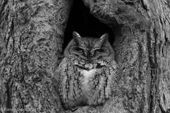 Screech Owl B&W #2 (rdroniuk) Tags: birds raptors owls owl birdsofprey screechowl megascopsasio easternscreechowl oiseaux rapaces oiseauxdeproie petitducmaculé hiboux screech graymorphscreechowl
