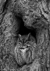 Screech Owl B&W #1 (rdroniuk) Tags: birds raptors owls owl birdsofprey screechowl megascopsasio easternscreechowl oiseaux rapaces oiseauxdeproie petitducmaculé hiboux screech graymorphscreechowl