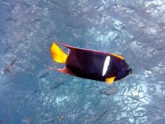 King Angelfish (xd_travel) Tags: 2014 galapagos mssamba underwater uw snorkeling