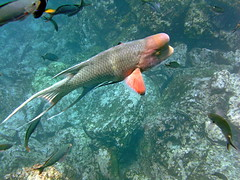Bodianus diplotaenia - Mexican Hogfish (xd_travel) Tags: 2014 galapagos mssamba underwater uw snorkeling mexicanhogfish