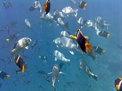 Grunt fish and King Angelfish (xd_travel) Tags: 2014 galapagos mssamba underwater uw snorkeling