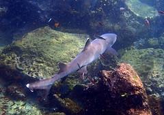 White-tip Reef Shark (xd_travel) Tags: 2014 galapagos mssamba underwater uw snorkeling