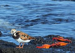 Ruddy turnstone with some Sally Light-foots (xd_travel) Tags: 2014 galapagos mssamba shorebirds