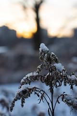 Thirteen days for Christmas (jannaheli) Tags: suomi finland helsinki kumpula nikond7200 nature naturephotography naturetherapy outdoor outside visitfinland visithelsinki sunset hay snow evening eveningsun