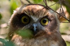 I See You 2 (- Jan van Dijk -) Tags: australia queensland jvd tamron10004000mmf4563 bird owl natuur nature juvenile ninoxstrenua powerfulowl nativefauna hawkowl wildlife fauna