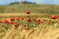 P1110723 (alainazer) Tags: saintmichellobservatoire provence france fiori fleurs flowers fields champs colori colors couleurs ciel cielo sky coquelicot poppy papavero blé grano wheat