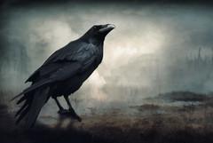 Afterwards 2 (chiaralily) Tags: photoshop chiaralily manipulation crow raven desolate apocalyptic dystopian dark landscape grassland melbourne australia