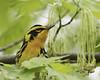 blackburnian warbler (m)