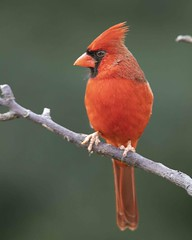 Northern Cardinal (Yer Photo Xpression) Tags: ronmayhew northerncardinal red bird nature canon tamron birdwatching