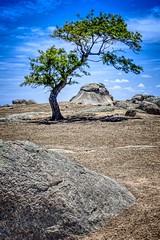 (danielodonoghue10) Tags: lonetree victoria tree australia landscape